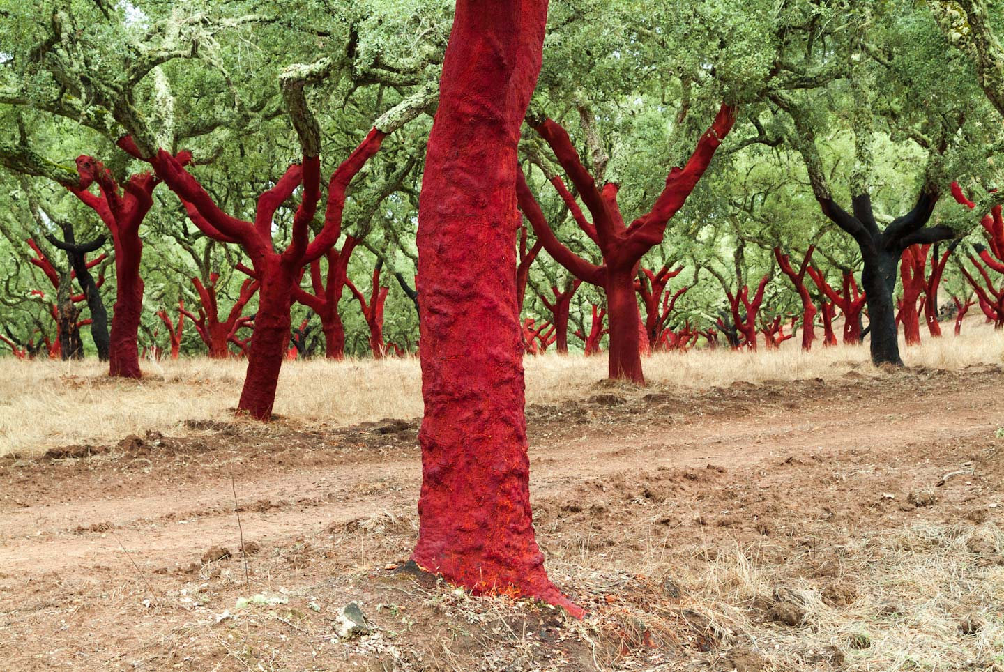 Portugal,_Red_Cork_Trees-34.jpg